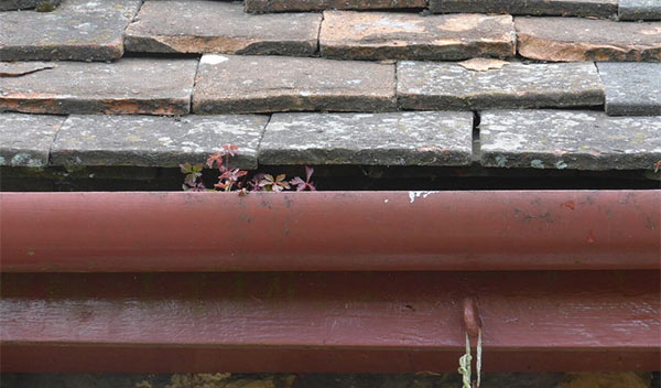 Traditional slate roof with plastic gutters and foliage growing out